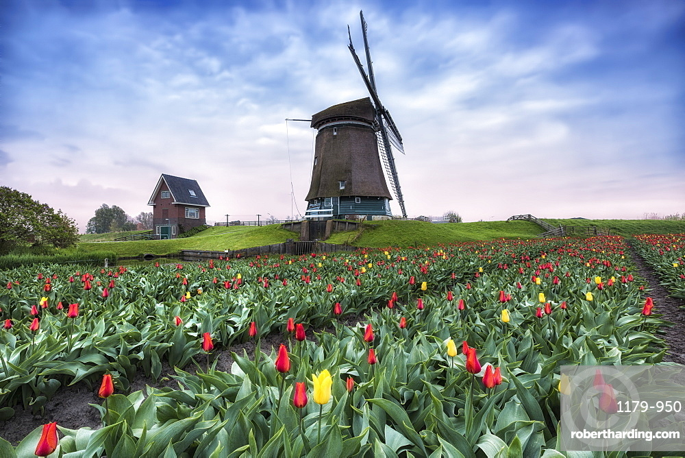 View of multi-coloured fields of tulips and windmills at spring, Berkmeer, Koggenland, North Holland, Netherlands, Europe