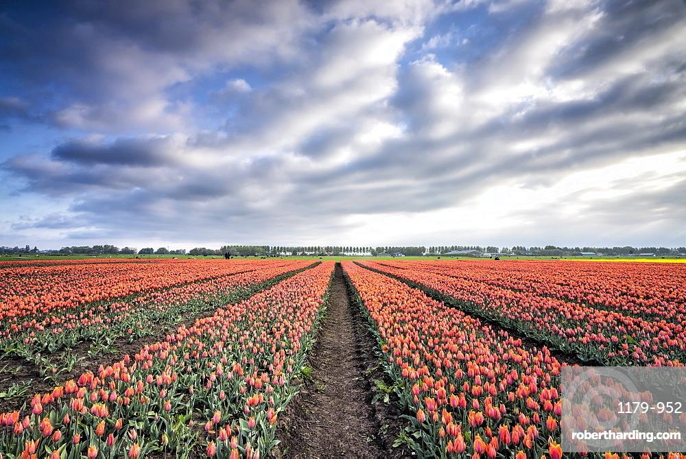 Spring clouds over fields of multi-coloured tulips, Schermerhorn, Alkmaar, North Holland, Netherlands, Europe