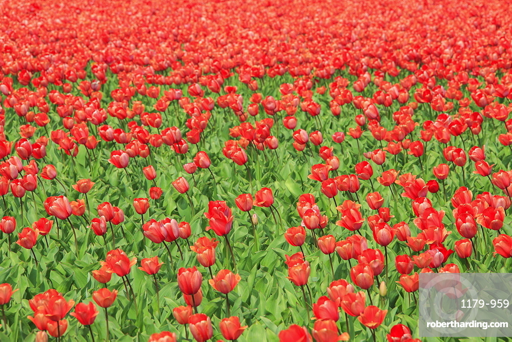 Red tulips and green grass colour the landscape in spring, Keukenhof Park, Lisse, South Holland, Netherlands, Europe