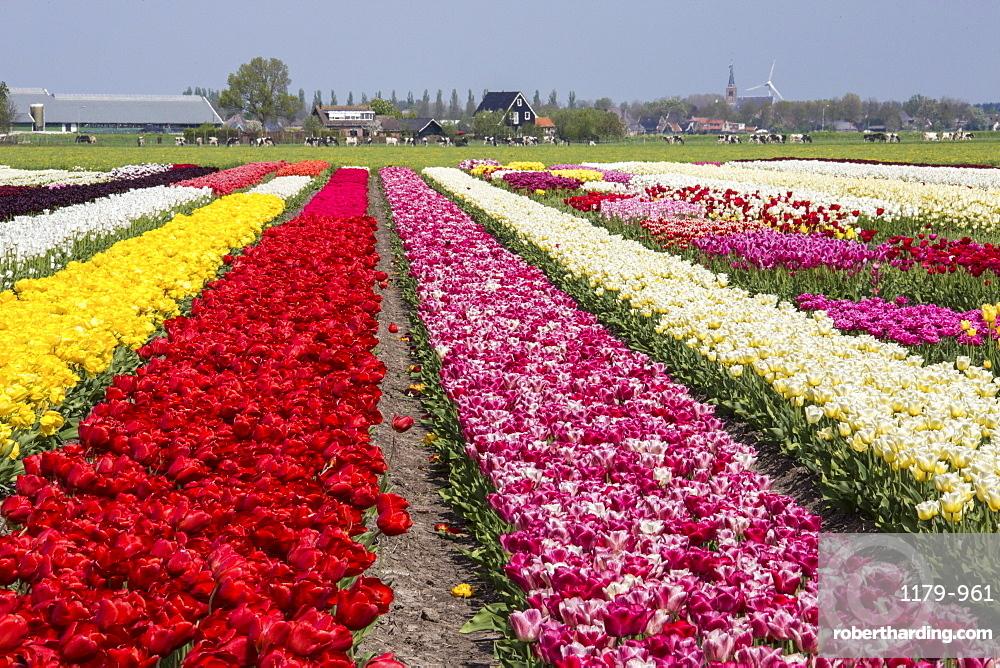 Multicolored tulip fields frame the village in spring, Berkmeer, Koggenland, North Holland, Netherlands, Europe