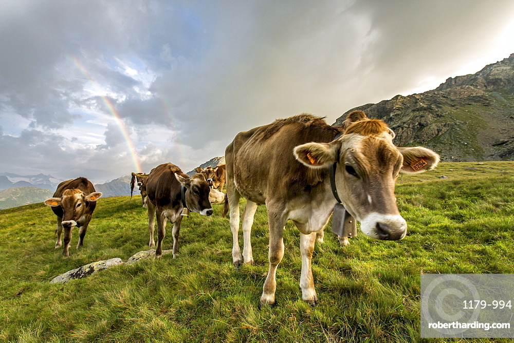 Rainbow frames a herd of cows grazing in the green pastures of Campagneda Alp, Valmalenco, Valtellina, Lombardy, Italy, Europe