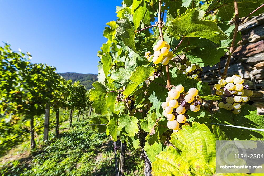 Vineyards overlooking Spitz on the Wachau, UNESCO World Heritage Site, Austria, Europe