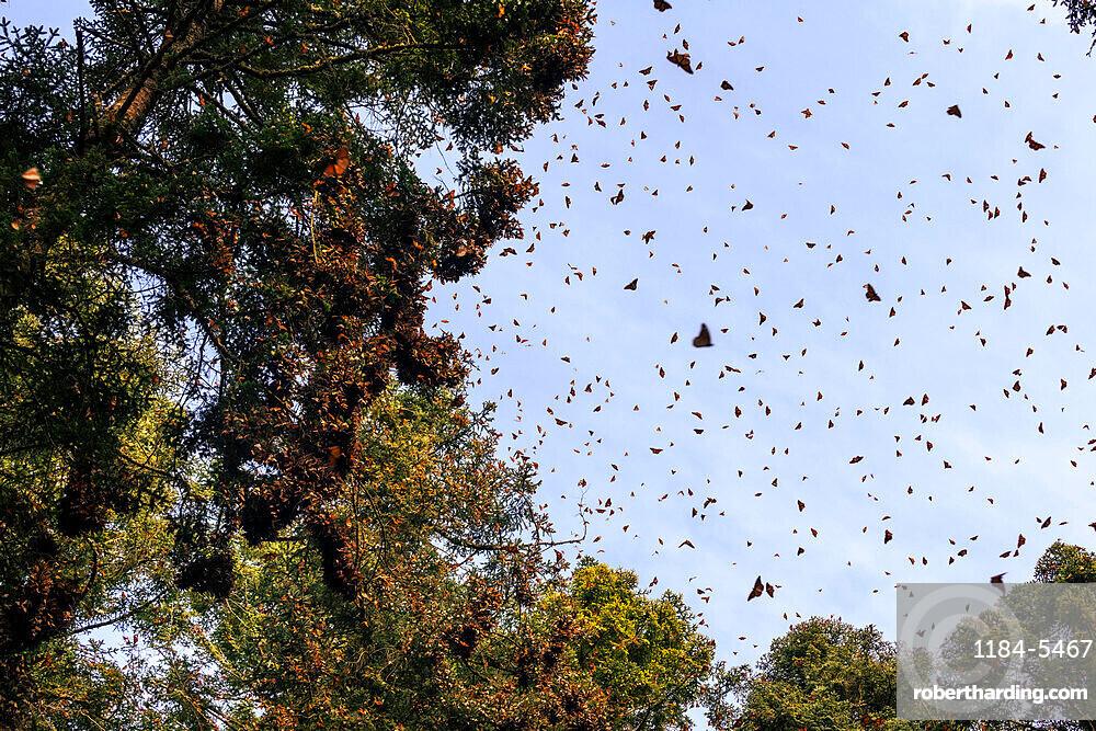 Monarch Butterfly Biosphere Reserve, UNESCO World Heritage Site, El Rosario, Michoacan, Mexico, North America