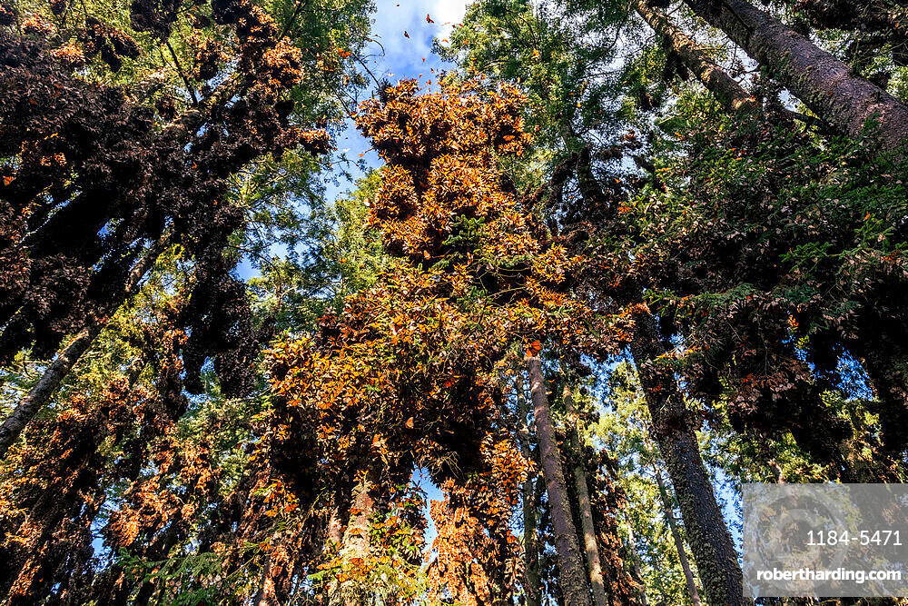 Millions of Butterflies covering trees in the Unesco site Monarch Butterfly Biosphere Reserve, El Rosario, Michoacan, Mexico