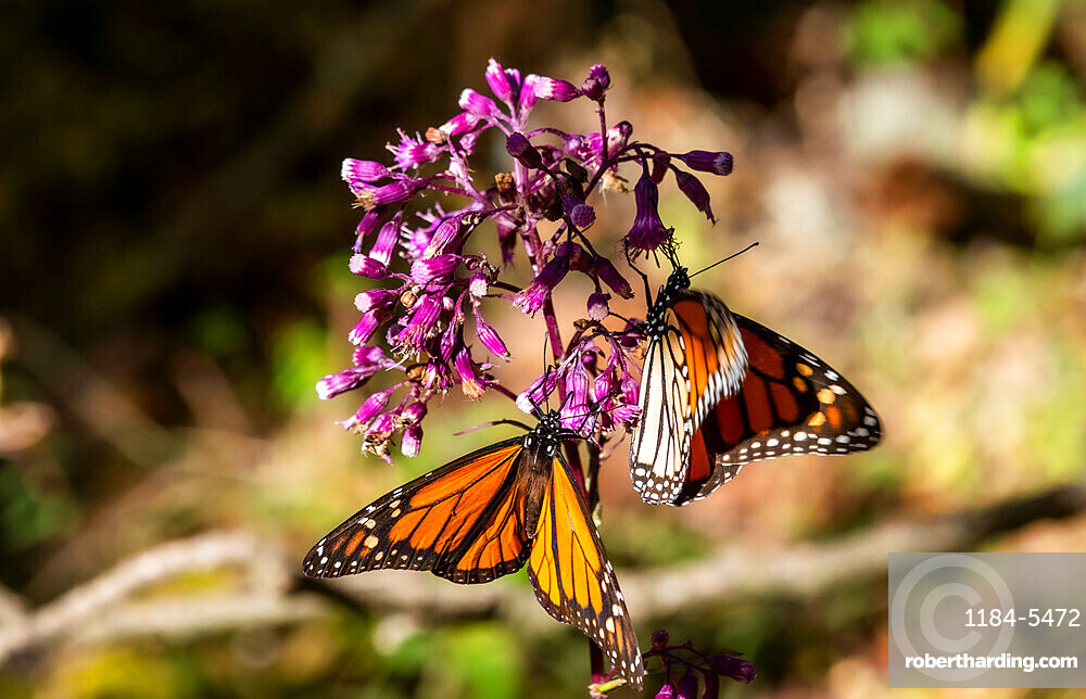 Close up of Monarch butterflies (Danaus plexippus), Monarch Butterfly Biosphere Reserve, UNESCO World Heritage Site, El Rosario, Michoacan, Mexico, North America