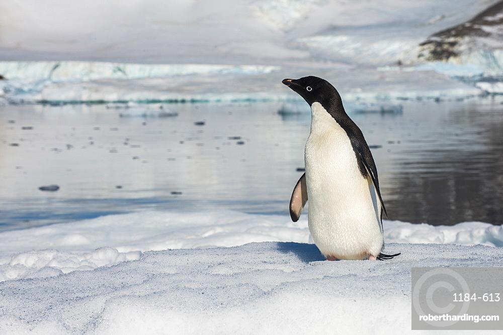 Adelie penguin (Pygoscelis adeliae) colony in Hope Bay, Antarctica, Polar Regions