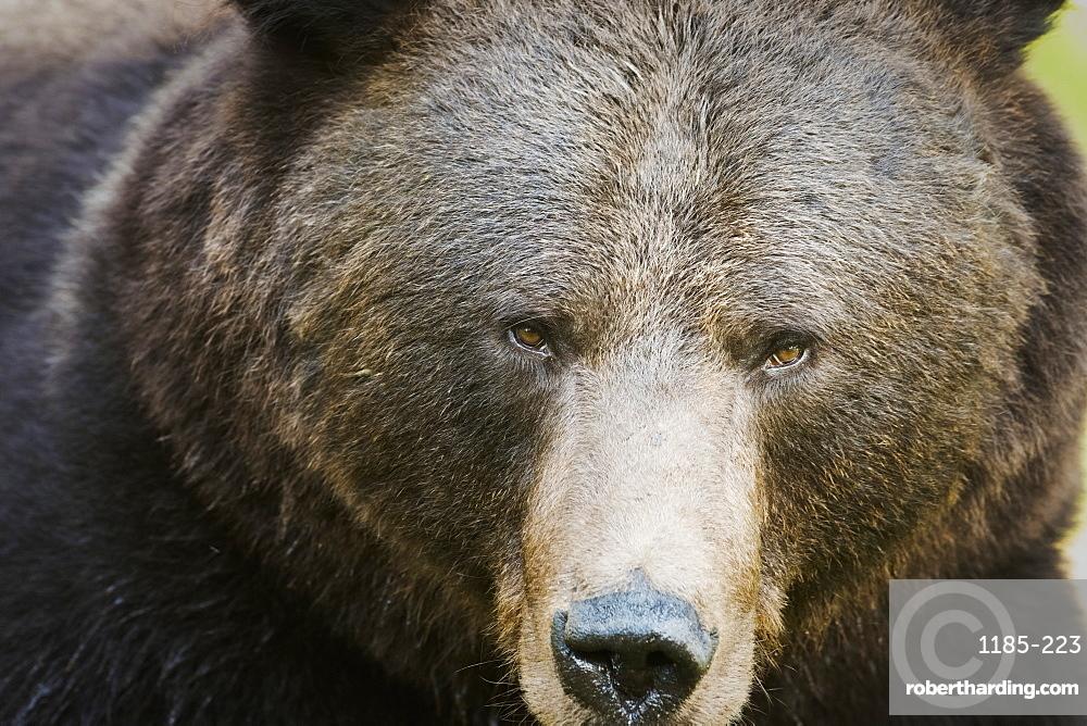 Brown Bear (Ursus Arctos), Finland, Scandinavia, Europe