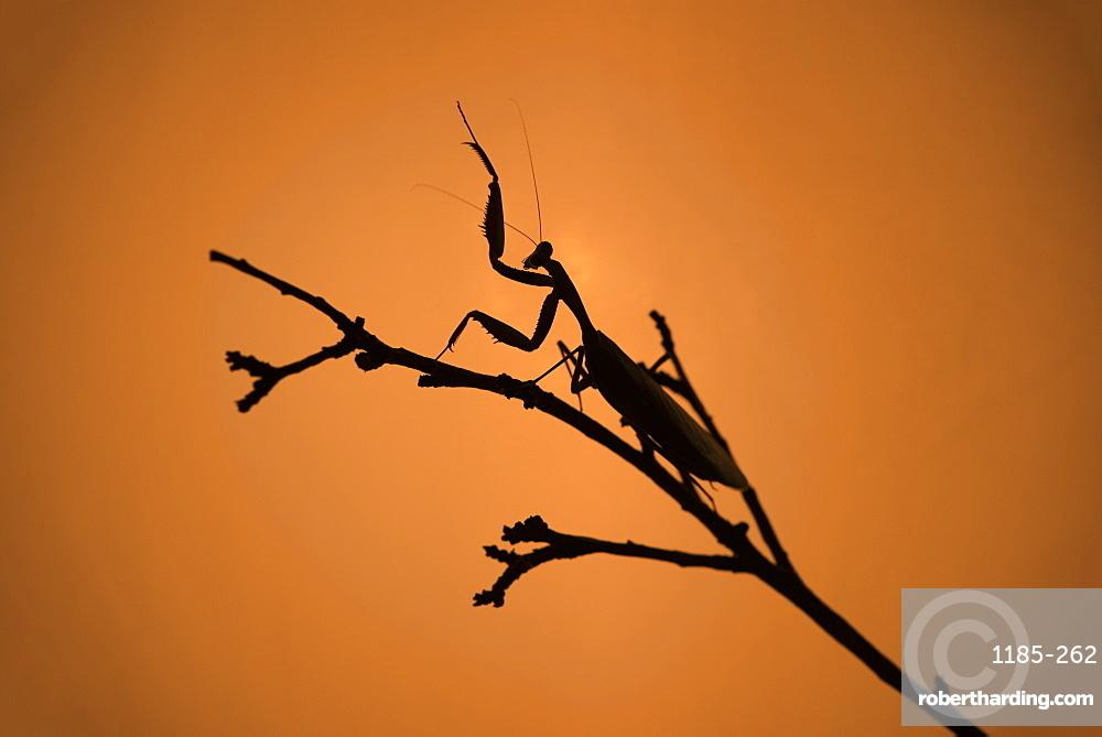 King Mantis (Hierodula Majuscula), captive, Australia, Pacific