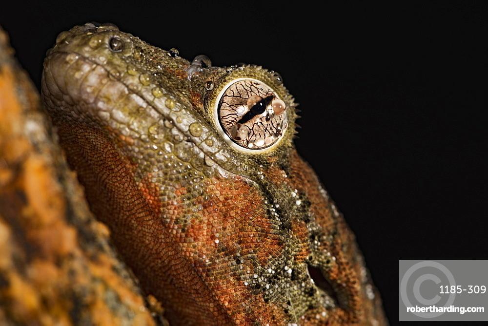 Mossy gecko (Rhacodactylus Chahoua), captive, United Kingdom, Europe