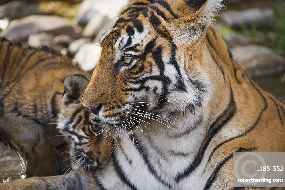 Bengal tiger (Panthera tigris tigris), Ranthambhore, Rajasthan, India, Asia