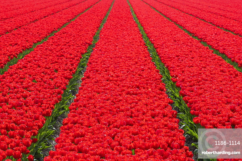 Tulips fields in Lisse, South Holland, The Netherlands, Europe