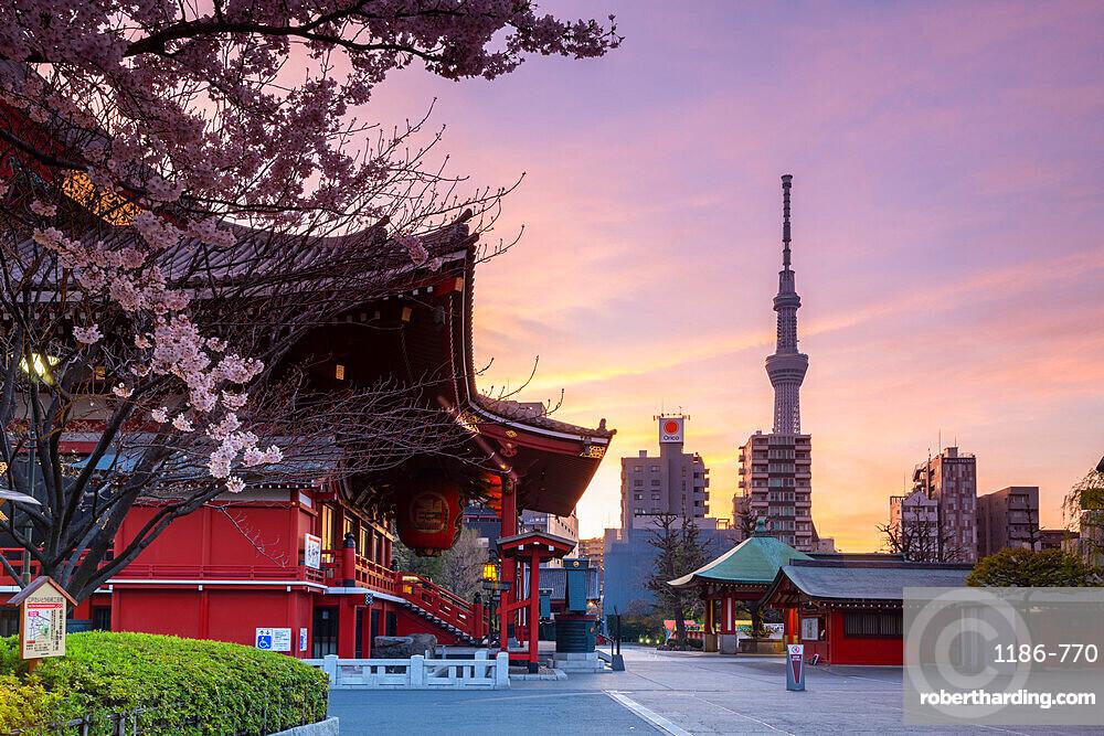 Sunrise at Sensoji Temple in Cherry blossom season