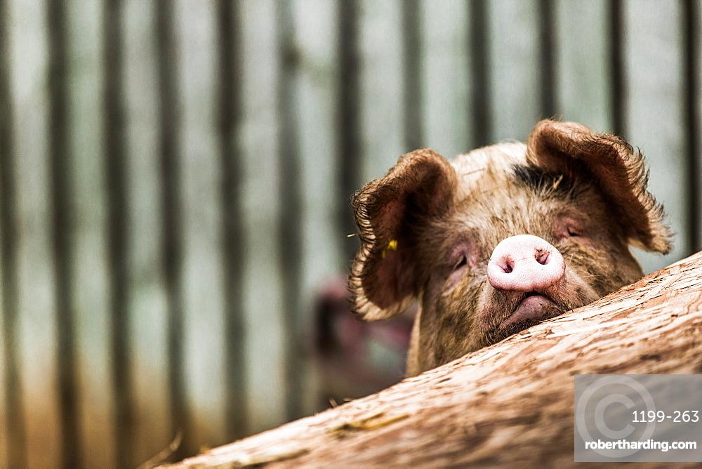 Pig in Gloucesteshire, England, United Kingdom, Europe