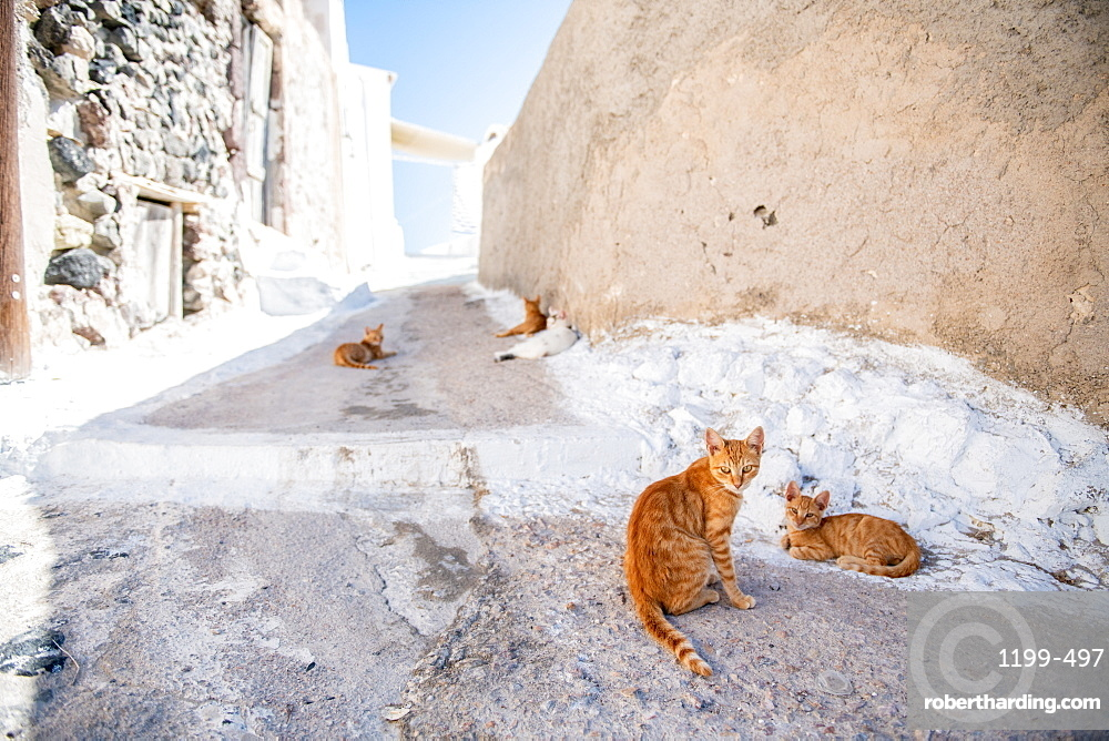 Cats inthe street, Santorini, Cyclades, Aegean Islands, Greek Islands, Greece, Europe
