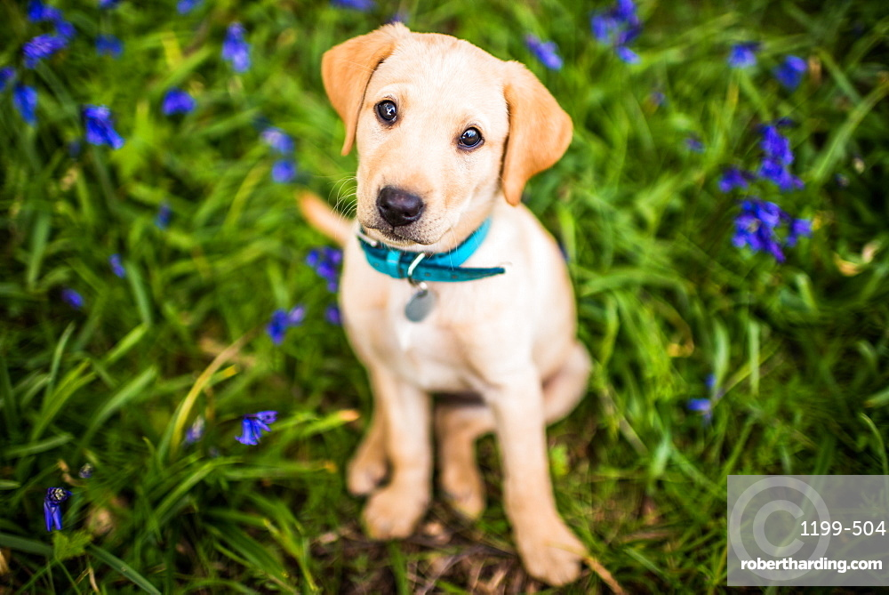 Golden Labrador puppy with blue collar sitting in the bluebells, United Kingdom, Europe