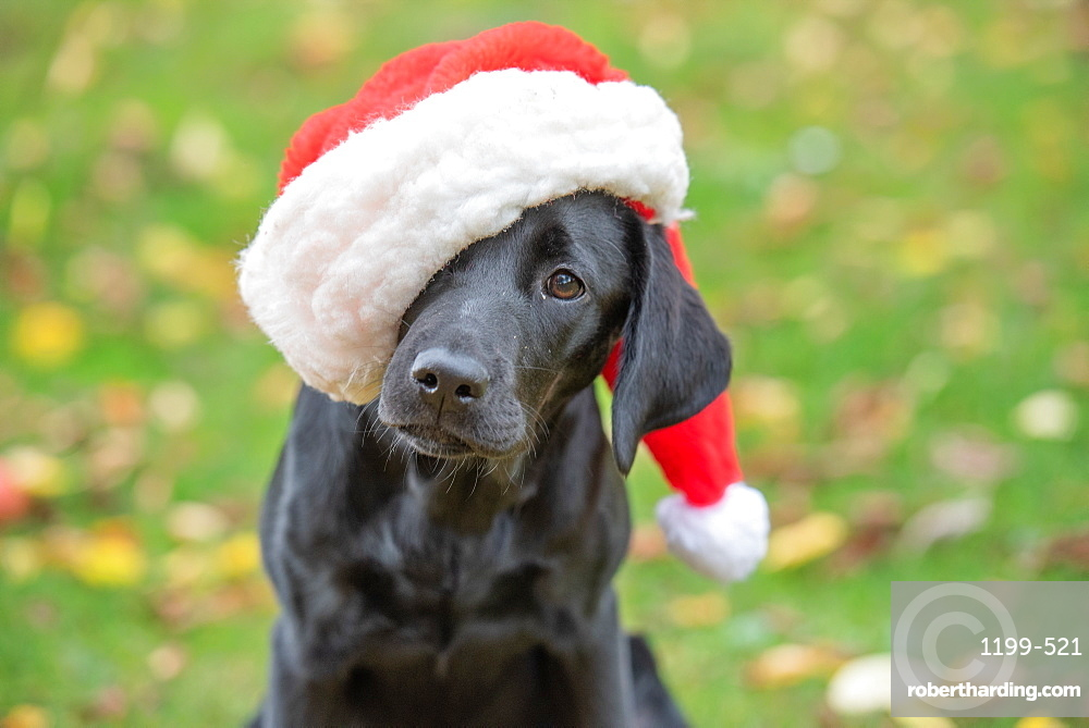 Black Labrador puppy with Christmas hat on, United Kingdom, Europe