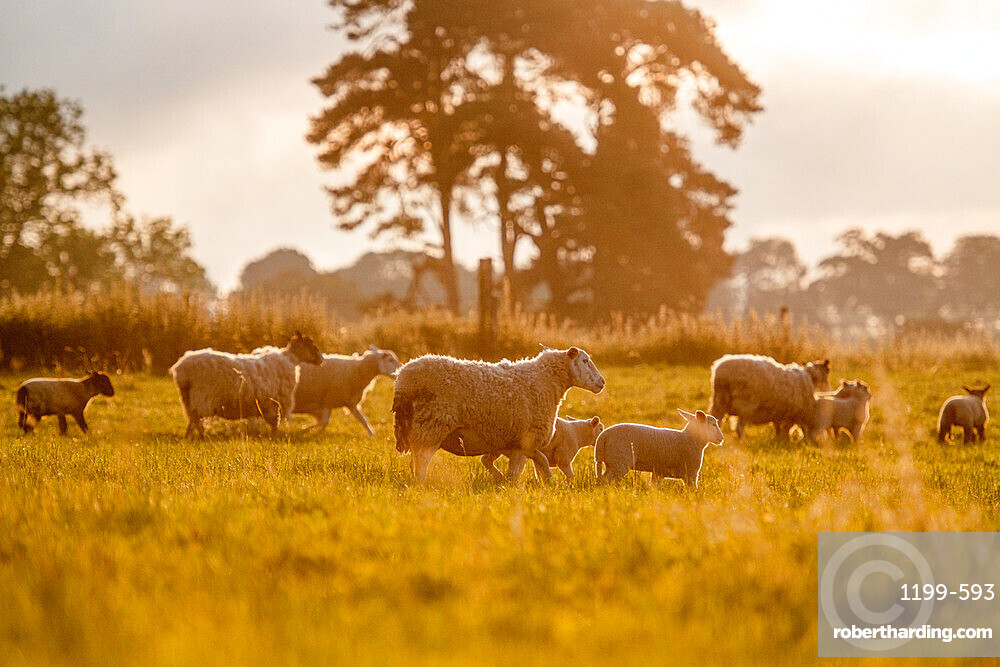 Back-lit silhouettes of Sheep and Spring Lambs, United Kingdom, Europe