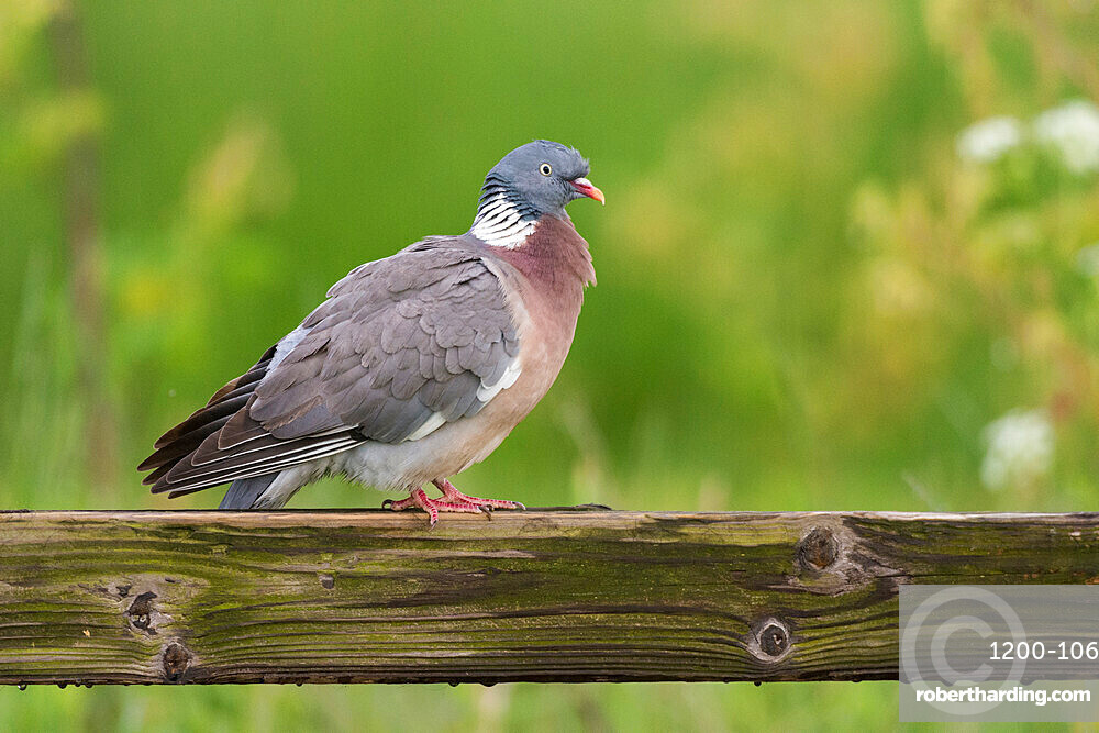 Wood pigeon (Columba palumbus), perched on fence, Kent, England, United Kingdom, Europe