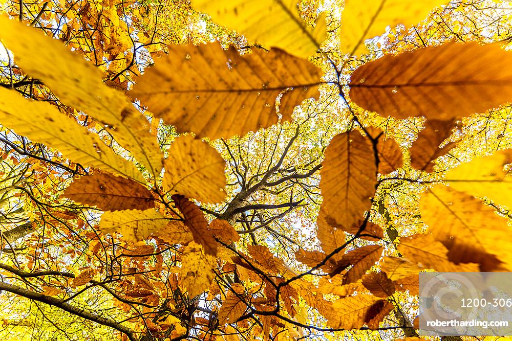 Sweet chestnut (Castanea sativa), leaves, and common oak tree (Quercus robur), autumn colour, Kent, England, United Kingdom, Europe