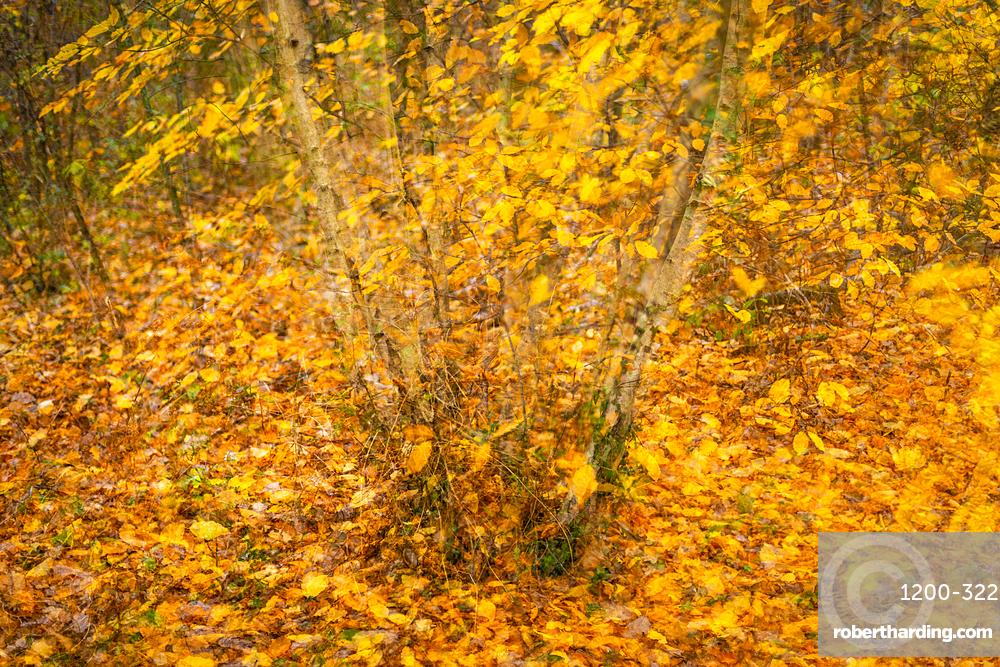 Silver birch (Betula pendula) and hornbeam (Carpinus betulus), multiple exposure, autumn colour, Kent, England, United Kingdom, Europe