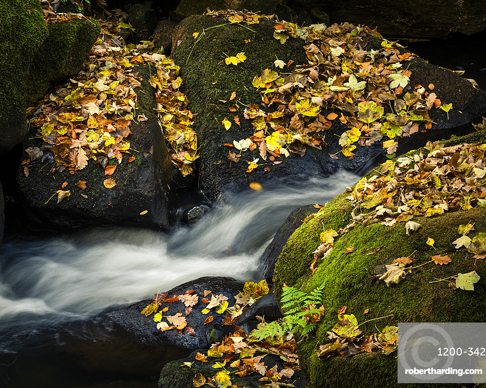 Autumn leaves covering moss covered rocks, Padley Gorge, Peak District National Park, Derbyshire, England, United Kingdom, Europe