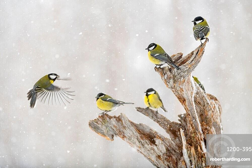 Great tit (Parus major) group, in snowfall, Kuusamo, Finland, Europe