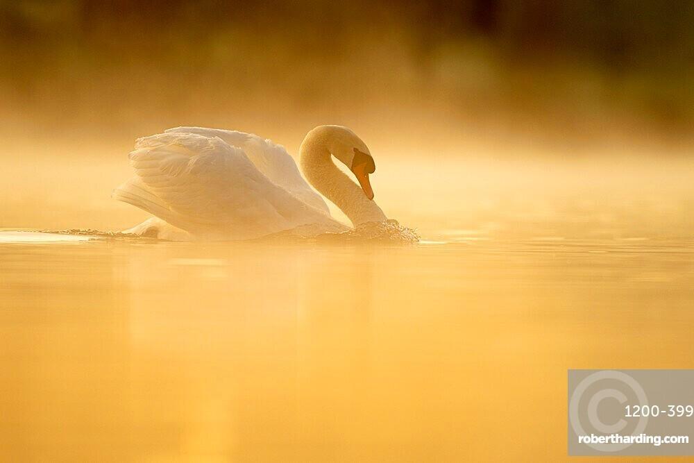 Mute swan (Cygnus olor) at sunrise, territorial behaviour, Kent, England, United Kingdom, Europe