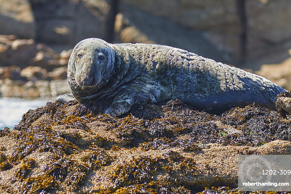 A Grey Seal (Halichoerus grypus), resting on a rock in the Western Rocks, at the western edge of the Isles of Scilly, England, United Kingdom, Europe