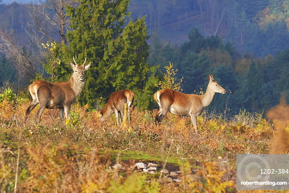 A group of Red Deer (Cervus elaphus) in countryside near Dunster, in Exmoor National Park, Somerset, Great Britain.
