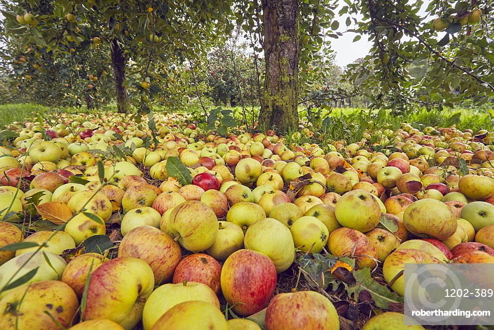 Fallen cider apples ready for harvest in September, Somerset, Great Britain.