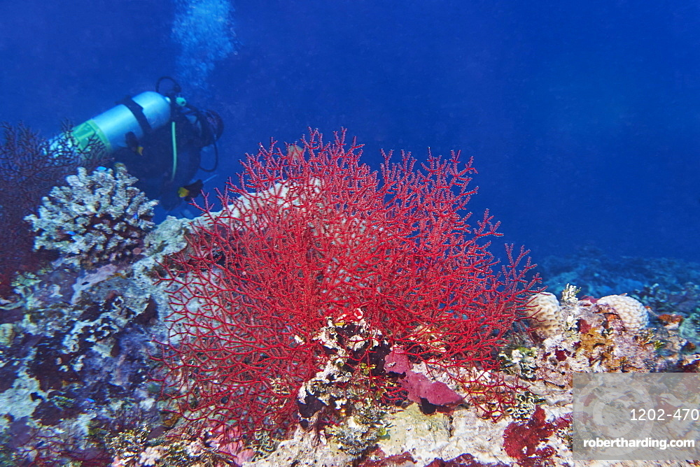 A gorgonian sea fan (possibly Echinogorgia species) octocoral on a tropical coral reef, in Gaafu Dhaalu atoll, The Maldives, Indian Ocean, Asia