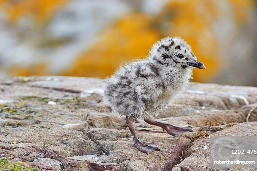 A chick of a Great Black-backed Gull (Larus marinus), on Staple Island, Farne Islands, Northumberland, England, United Kingdom, Europe