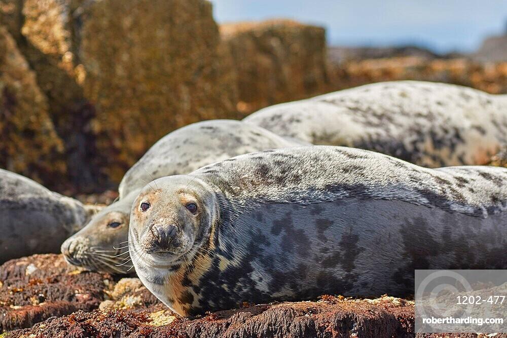Basking Grey Seals (Halichoerus grypus), on Longstone Island, Farne Islands, Northumberland, northeast England, United Kingdom, Europe