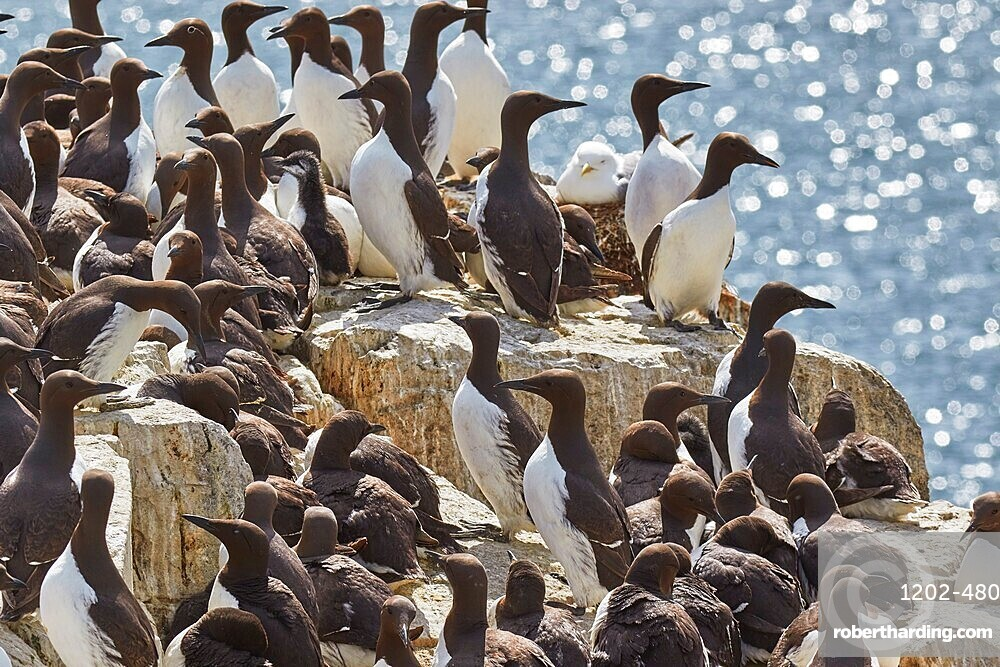 Crowds of nesting Guillemots (Uria aalge), on Staple Island, Farne Islands, Northumberland, England, United Kingdom, Europe