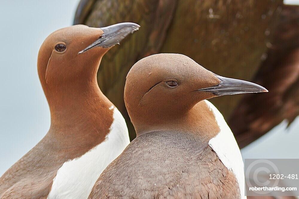 A Guillemot pair (Uria aalge), on Inner Farne, Farne Islands, Northumberland, England, United Kingdom, Europe