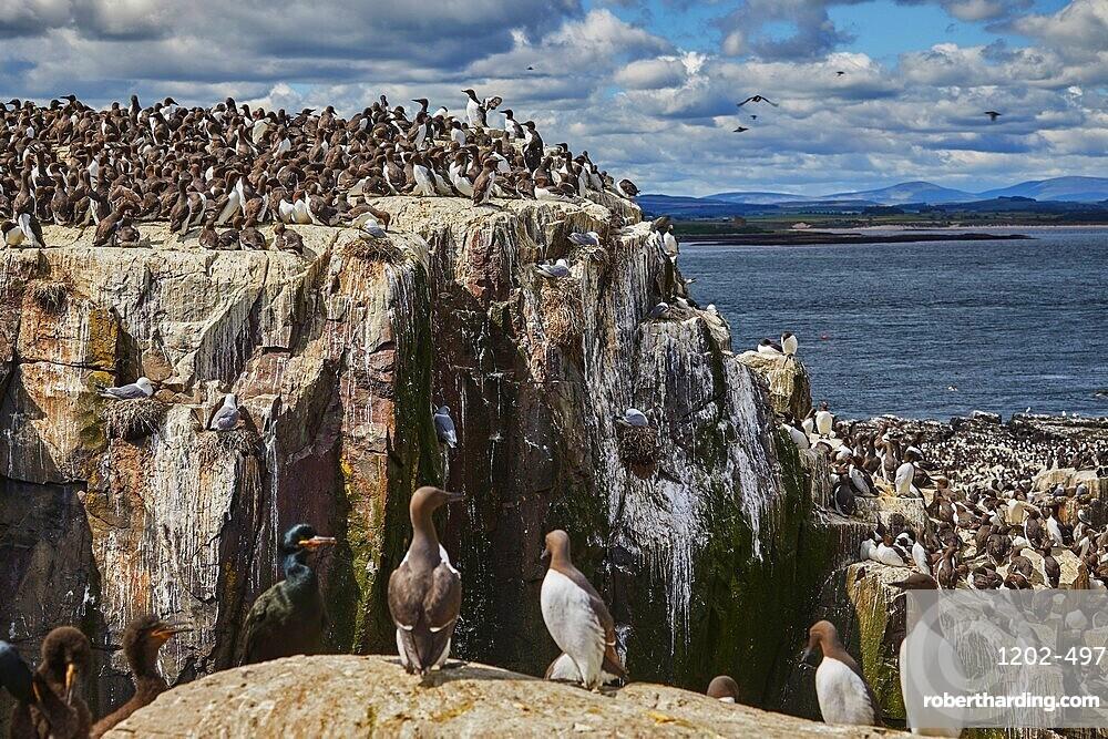 Crowds of Guillemots (Uria aalge), on Staple Island, in the Farne Islands, Northumberland, northeast England, United Kingdom, Europe