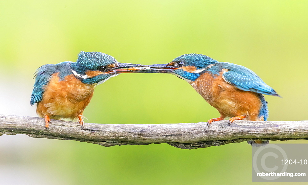 Kingfisher (Alcedo atthis), Yorkshire, England, United Kingdom, Europe