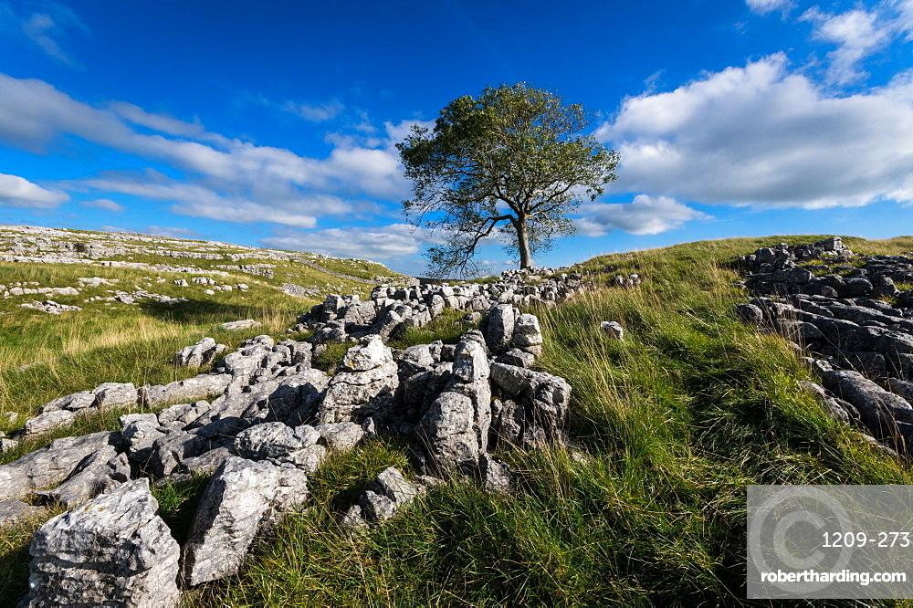 Tree and limestone pavement above Malham, Yorkshire Dales, Yorkshire, England, United Kingdom, Europe