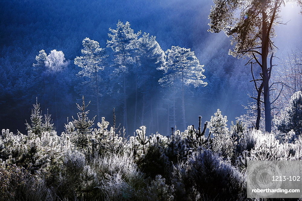 Frost covered trees in the forest in the commune of Baerenthal, in the Moselle region, France, Europe