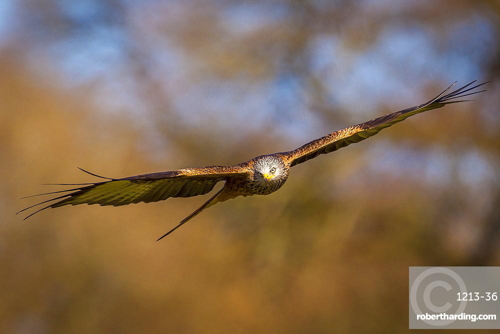 Red kite (Milvus milvus) in flight, Rhayader, Wales, United Kingdom, Europe