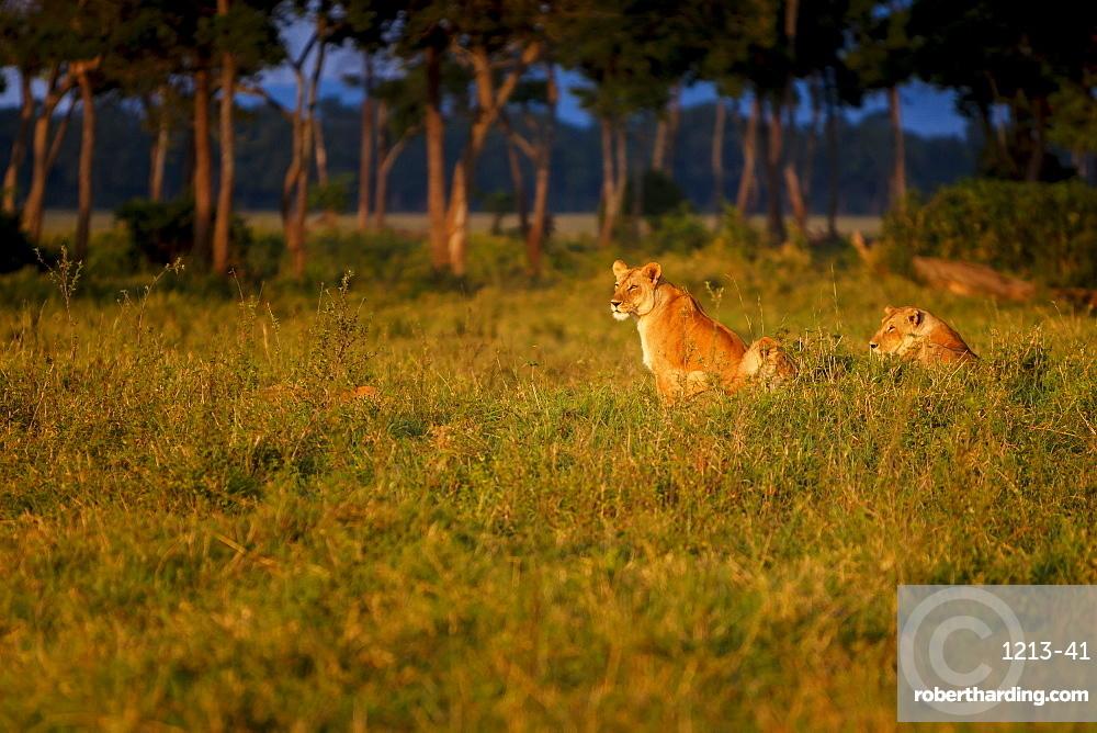 Lions (Panthera leo) resting at sunrise, Masai Mara, Kenya, East Africa, Africa