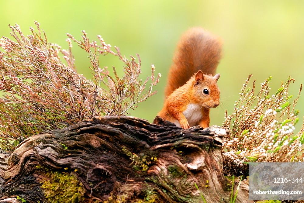 Red squirrel (Sciurus vulgaris), Scotland, United Kingdom, Europe