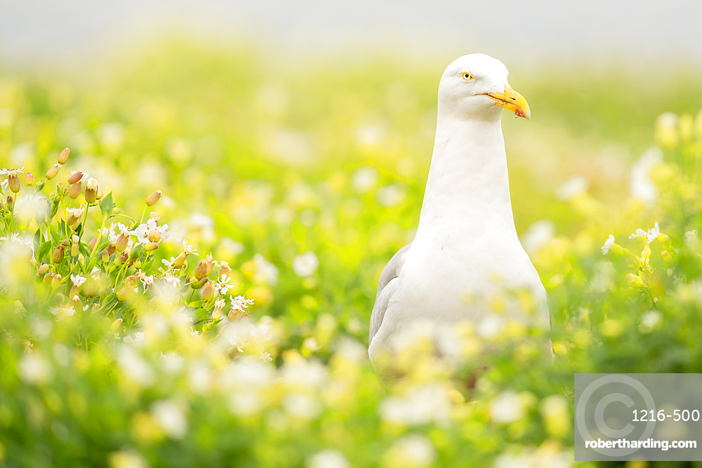 Gull, Farne Islands, Northumberland, England, United Kingdom, Europe
