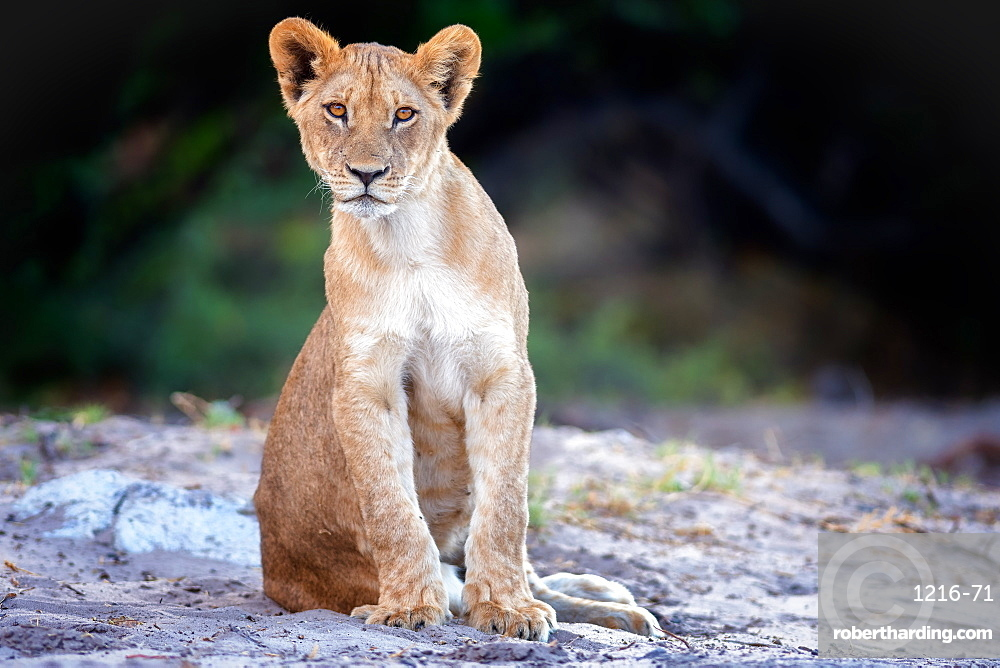 Lion cub, Chobe National Park, Botswana, Africa