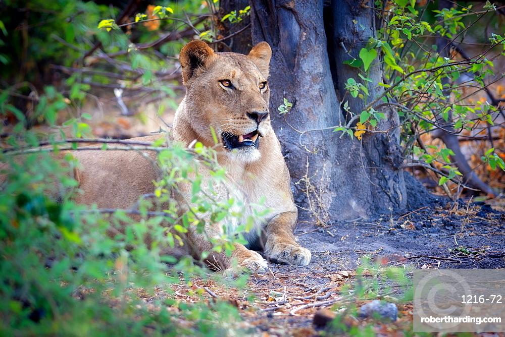 Resting lion, Chobe National Park, Botswana, Africa