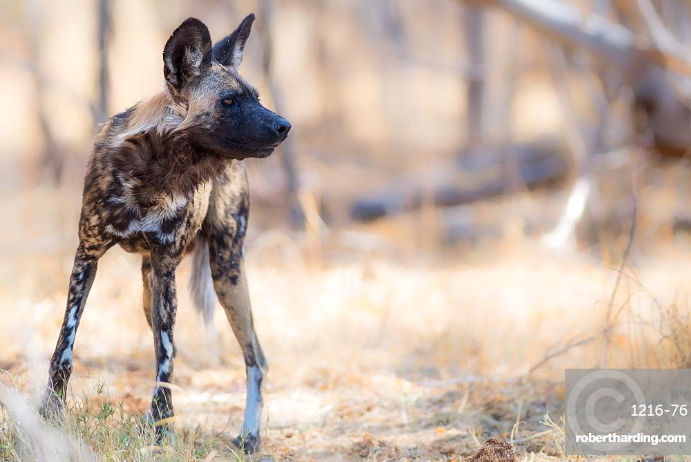 Wild dog, Okavango Delta, Botswana, Africa