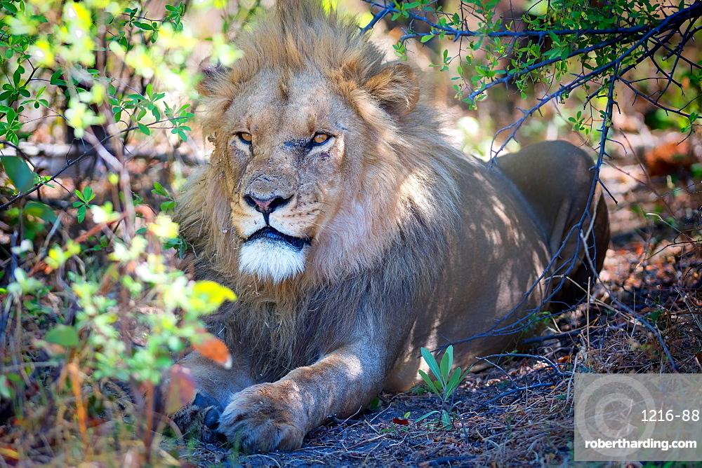 Lion, Okavango Delta, Botswana, Africa