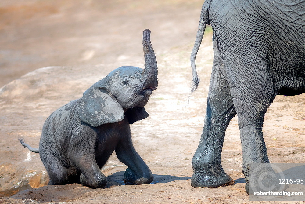 Elephant calf climbing out of the water hole in Hwange National Park, Zimbabwe, Africa