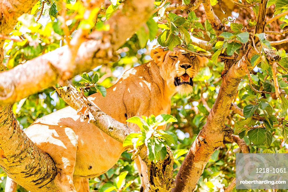 Hanging Lions in the Ishasha sector, Queen Elizabeth National Park, Uganda, East Africa, Africa