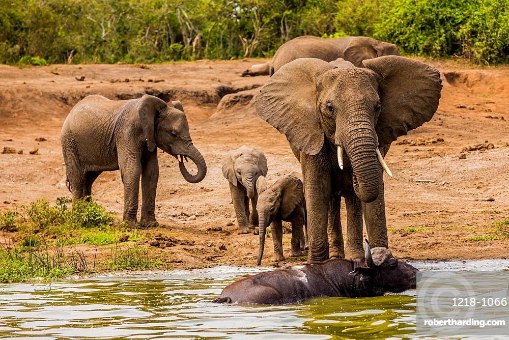 Elephants in Queen Elizabeth National Park, Uganda, East Africa, Africa